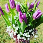 tulipan morado 1