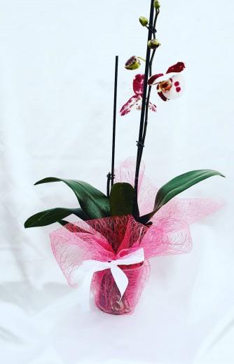 orquidea 2