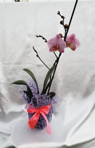 orquidea 3.3