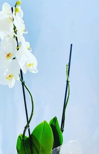 orquidea blanca 1