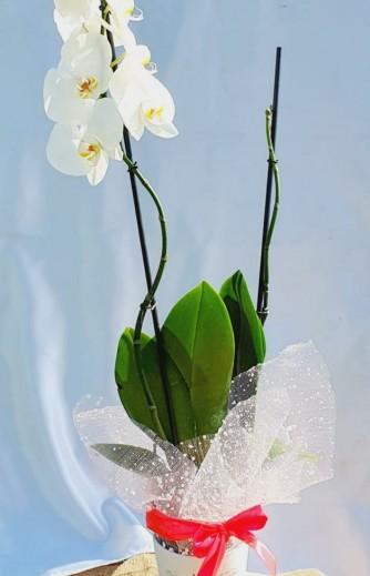 orquidea blanca 2